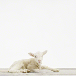 Baby Lamb photo by Sharon Montrose