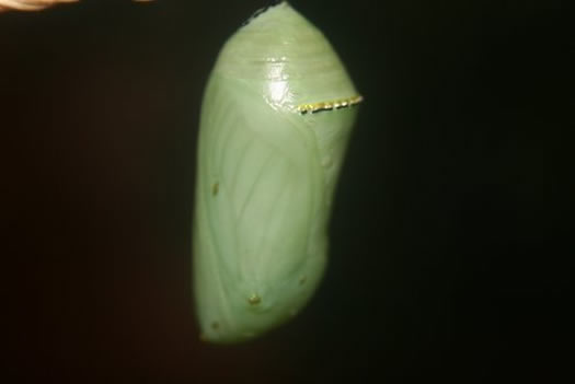 Monarch Butterfly Chrysalis with wings showing through