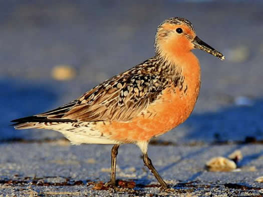 Red Knot pic courtesy of Conserve Wildlife NJ